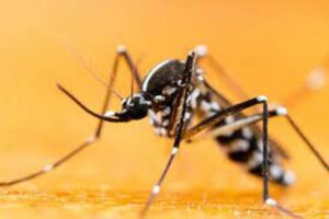 genetically modified mosquitoes